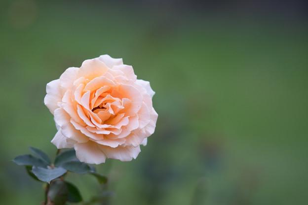 生田緑地ばら苑【バラ:ジャスト・ジョイ】3_Ai_180mm_f2.8