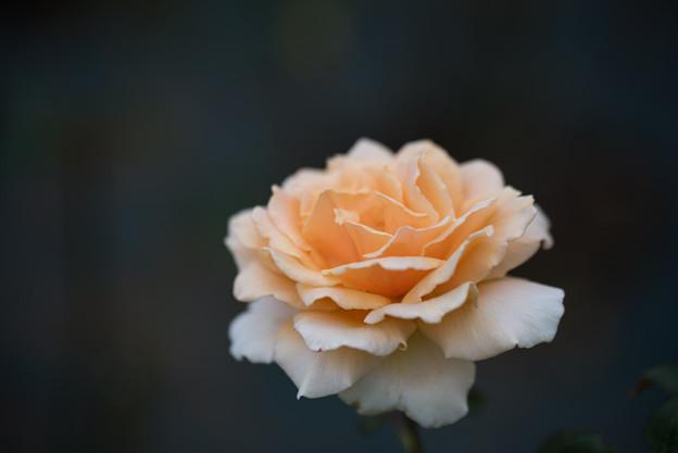 生田緑地ばら苑【バラ:ジャスト・ジョイ】4_Tamron_90mm_f2.8