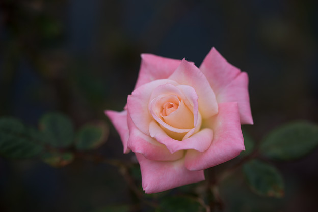 生田緑地ばら苑【バラ:ダイアナ・プリセス・オブ・ウエールズ】1_Tamron_90mm_f2.8