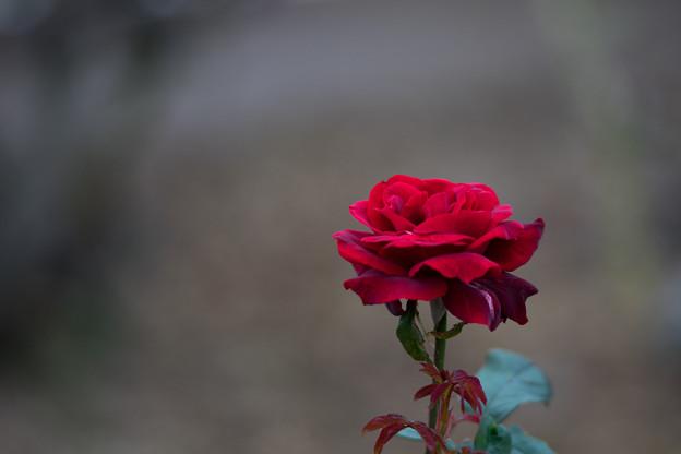 生田緑地ばら苑【バラ:サムライ66】_Ai_180mm_f2.8