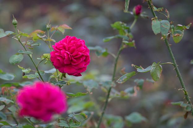 生田緑地ばら苑【バラ:L・D・ブレスウェイト】1_Ai_180mm_f2.8