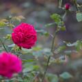 Photos: 生田緑地ばら苑【バラ:L・D・ブレスウェイト】1_Ai_180mm_f2.8