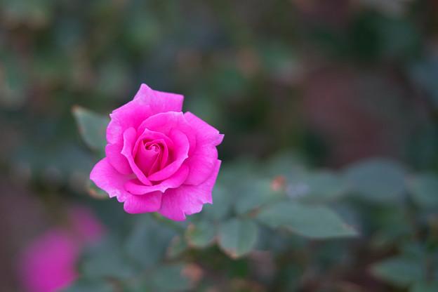 生田緑地ばら苑【バラ:フロリック】1_Ai_180mm_f2.8