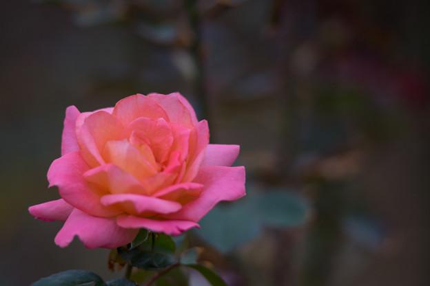生田緑地ばら苑【バラ:フラワーガール】_Ai_180mm_f2.8
