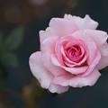 生田緑地ばら苑【バラ:ウィミー】_Tamron_90mm_f2.8