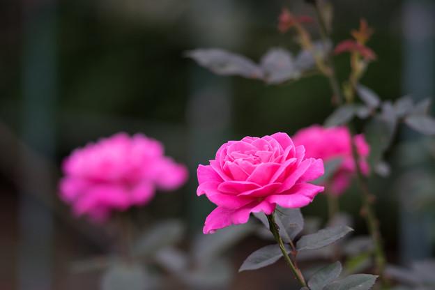 生田緑地ばら苑【バラ:ピンク・スパイラル】_Ai_180mm_f2.8