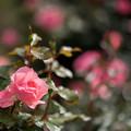 写真: 神代植物公園【バラ:シャルダン・ドゥ・フランス】2