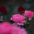 写真: 神代植物公園【バラ:シャルダン・ドゥ・フランス】3