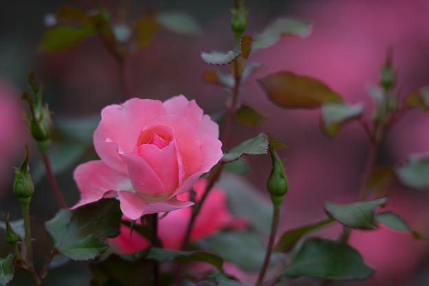 神代植物公園【バラ:シャルダン・ドゥ・フランス】5
