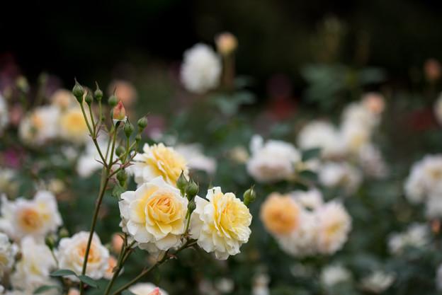 神代植物公園【バラ:ムーン・スプライト】1