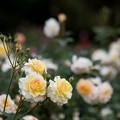 写真: 神代植物公園【バラ:ムーン・スプライト】1