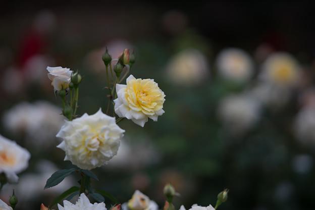 神代植物公園【バラ:ムーン・スプライト】3