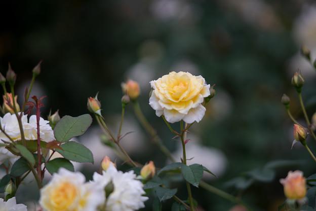 神代植物公園【バラ:ムーン・スプライト】4
