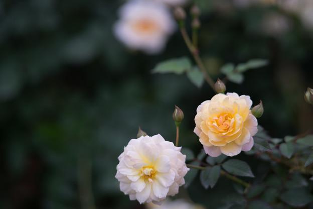 神代植物公園【バラ:ムーン・スプライト】5