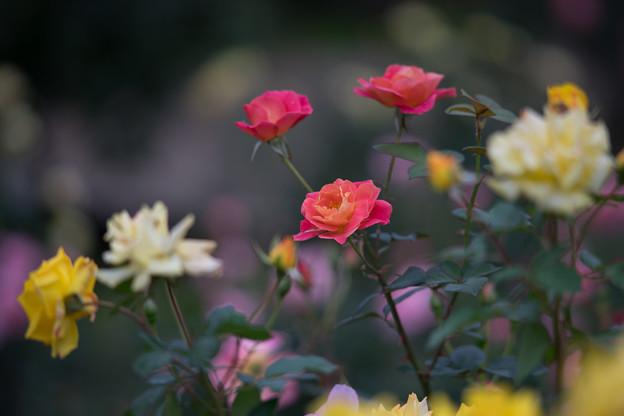 神代植物公園【バラ:ファンファーレ】2