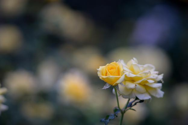 神代植物公園【バラ:フリージア】2