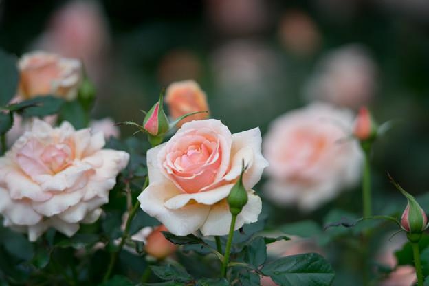 神代植物公園【バラ:フレグラント・アプリコット】1
