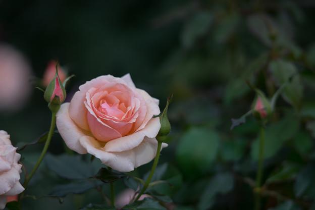神代植物公園【バラ:フレグラント・アプリコット】2