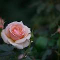 Photos: 神代植物公園【バラ:フレグラント・アプリコット】2