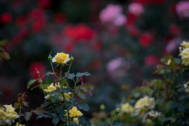 神代植物公園【バラ:ゴールド・バニー】1