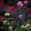 Photos: 神代植物公園【バラ:ゴールド・バニー】1