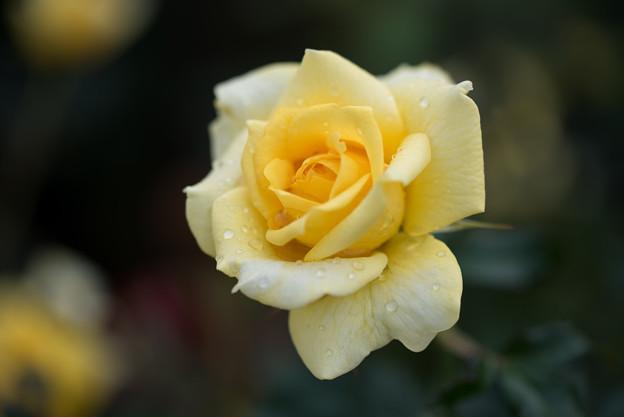 神代植物公園【バラ:ゴールド・バニー】3