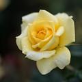 写真: 神代植物公園【バラ:ゴールド・バニー】3