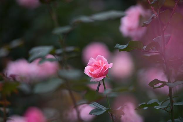 写真: 神代植物公園【バラ:クイーン・エリザベス】1