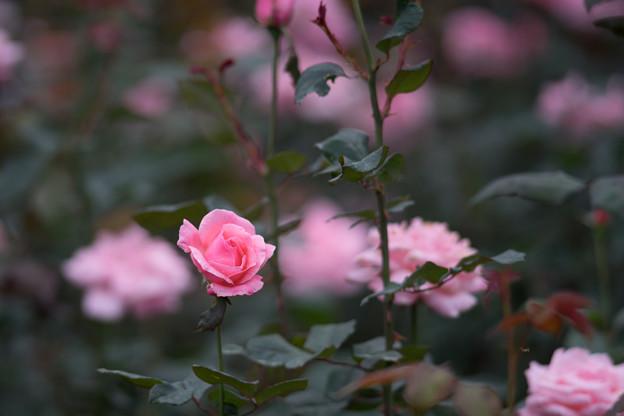神代植物公園【バラ:クイーン・エリザベス】2