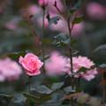 写真: 神代植物公園【バラ:クイーン・エリザベス】2