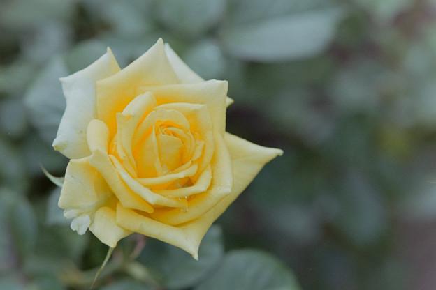 神代植物公園【バラ:ファルツァー・ゴールド】2