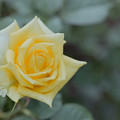 Photos: 神代植物公園【バラ:ファルツァー・ゴールド】2