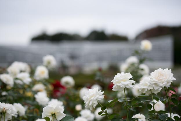 神代植物公園【バラ:ファビュラス】