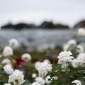 写真: 神代植物公園【バラ:ファビュラス】