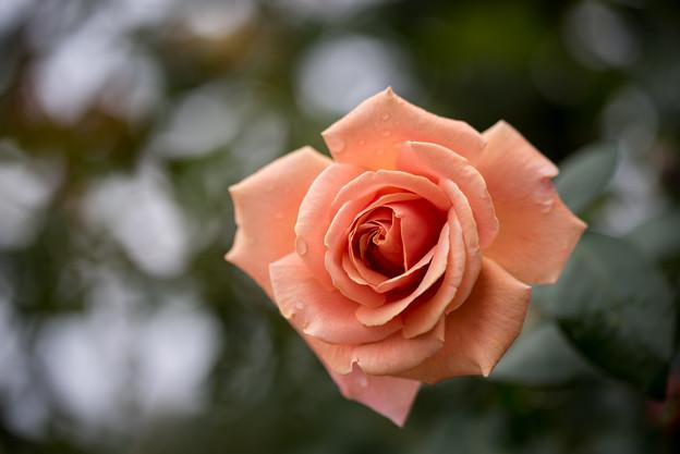 神代植物公園【バラ:ロイヤル・サンセット】