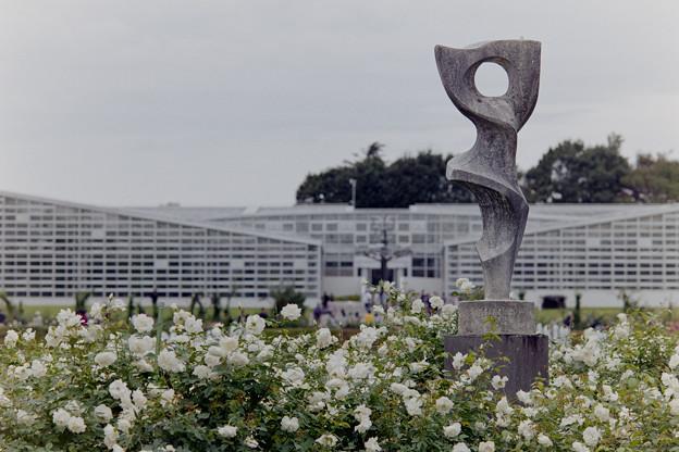 神代植物公園【バラ:アイスバーグ】1