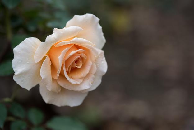 神代植物公園【バラ:ジャスト・ジョイ】