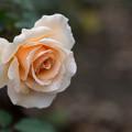 写真: 神代植物公園【バラ:ジャスト・ジョイ】