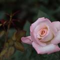 写真: 神代植物公園【バラ:夕霧】