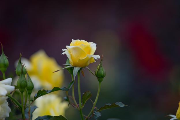 写真: 神代植物公園【バラ:サン・フレーア】