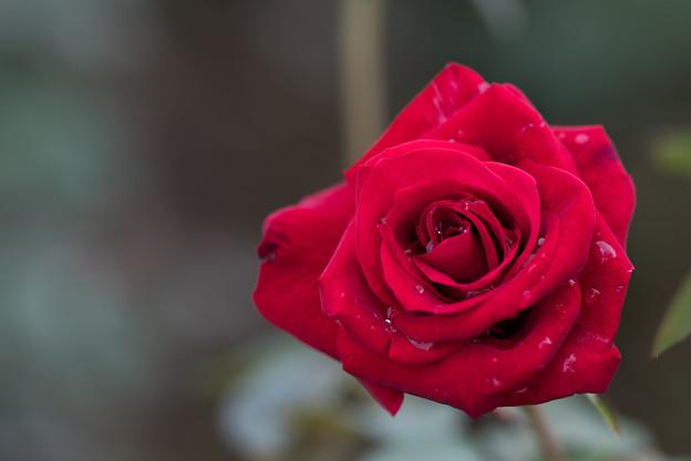 神代植物公園【バラ:アメリカン・スピリット】