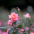 神代植物公園【バラ:フラワーガール】