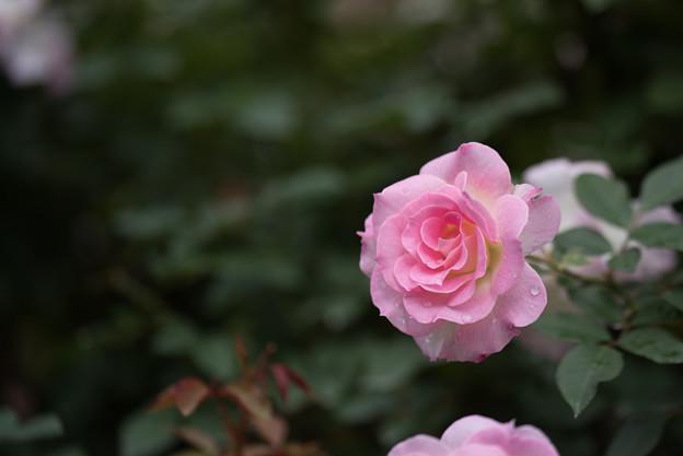 神代植物公園【バラ:マチルダ】