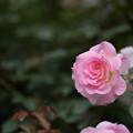 Photos: 神代植物公園【バラ:マチルダ】