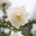 神代植物公園【バラ:サラトガ】1