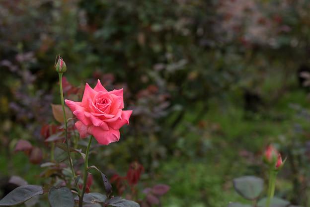 神代植物公園【バラ:ポリネシアン・サンセット】
