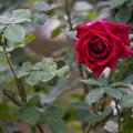 Photos: 神代植物公園【バラ:クイーン・オブ・神代】