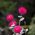 写真: 神代植物公園【ダリア:カマノカンコード】