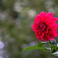 写真: 神代植物公園【ダリア:宙「sora」】