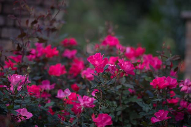 花菜ガーデン【秋バラ:ノックアウト】1